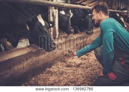 Young farmer feeding cow in the cowshed in dairy farm.