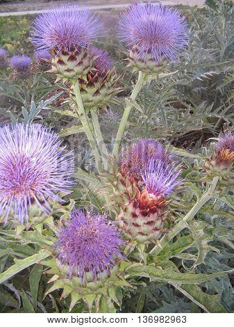 CARDO. Planta comestible, muy apreciada en las regiones de Aragón y Navarra, posee bellas flores y puede llegar  a medir 1,5 metros.