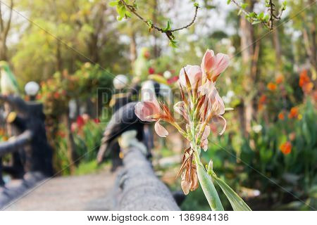 Beautiful fresh pastel pink Canna Lily flower on nature green background with copy space flowers in garden park and morning happy feeling mood