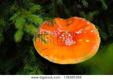 Fly agaric from above in forest, closeup macro photo