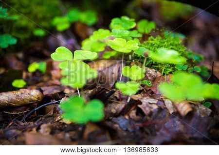 A detail of an oxalis montana, called common wood sorrel in forest macro with selective focus