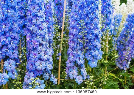 Beautiful blue delphinium blossom in the garden