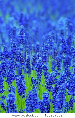 Beautiful lavender meadow with dreamy blue colour