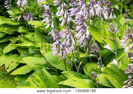 Group of flowering Hosta plants in the garden