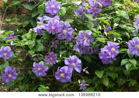 Beautiful purple flowers of clematis over old garden wall
