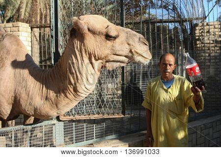 Camel In Tunisian Zoo