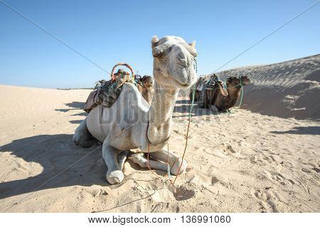 Camels resting during break time at short tourist tour around the beginning of Sahara desert in Douz Tunisia.