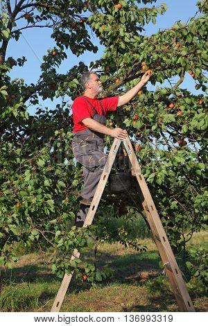 Farmer At Ladder Picking Apricot Fruit