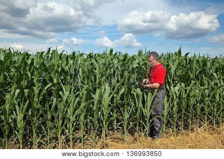 Farmer Or Agronomist Inspect Corn Field Using Tablet