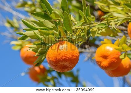Tangerines or mandarins on a tree with blue sky in sunlight