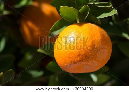 Close up of tangerine or mandarin on a branch with leaves