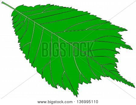 elm , vector , isolated elm leaf