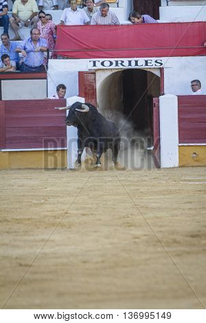 Pozoblanco Spain - September 5 2010: Capture of the figure of a brave bull in a bullfight going out of bullpens Pozoblanco Spain