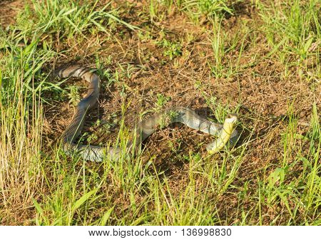 Yellow-bellied racer, Coluber constrictor flaviventris snake in grass, with his head raised up, in late evening sun