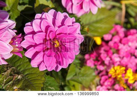 Decorative magenta dahlia blossom with leaves around