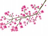 foto of cherry blossom  - Vector illustration of a plum branch in blossom - JPG
