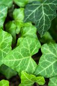 stock photo of english ivy  - Lush green ground cover commonly known as English or California ivy - JPG