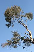 stock photo of arborist  - A tree trimmer cuts off a large brach while suspended by ropes - JPG