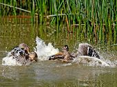 Conflict In Duck Family 2.