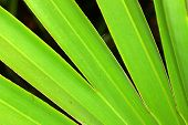 stock photo of saw-palmetto  - Background of a Saw Palmetto in Florida - JPG