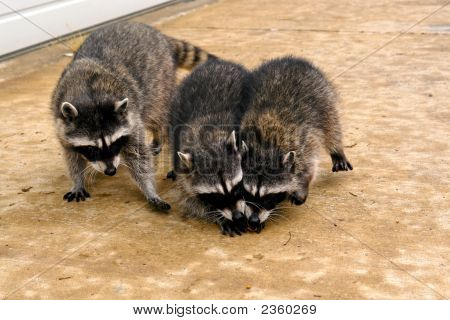 Three Coons
