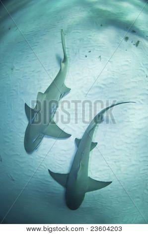 Shark Twin