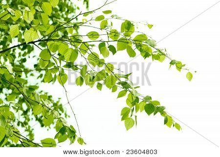 birch branch