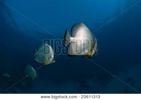 Triplane Batfish