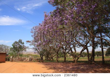 The Jacaranda Trees In Full Bloom