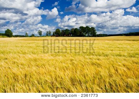 Ripe Barley Field With A Farmers House