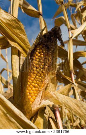 Ripe Corn Ear