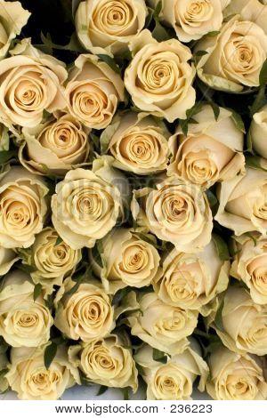 Cream Roses Background
