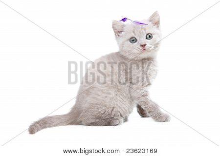 peach color British kitten