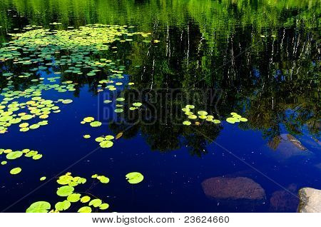 Waterlilies And Reflecting Birch