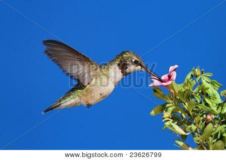 Juvenile Ruby-throated Hummingbird (archilochus Colubris)