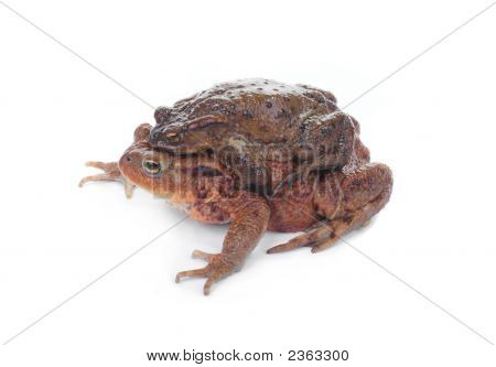 A Toad Couple During Reproduction