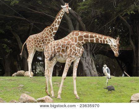 Reticulated Giraffe, Giraffa camelopardalis reticulata