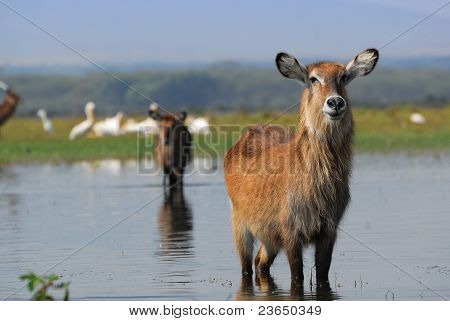An Antelope Waterbuck In The Water