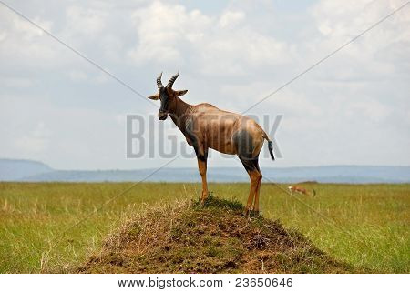 Antelope Topi