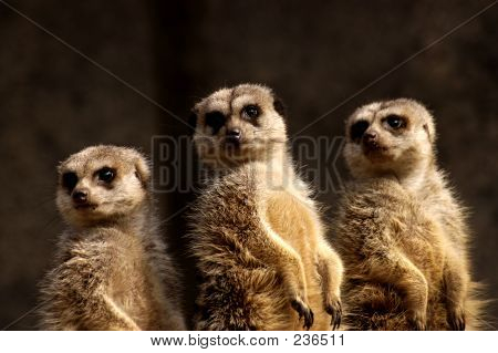 Picture or Photo of Three cute meercats alert standing guard