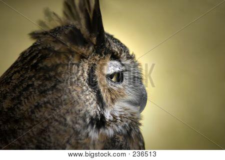 Vogel Eule Hoot