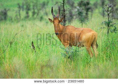 Lelwel Hartebeest