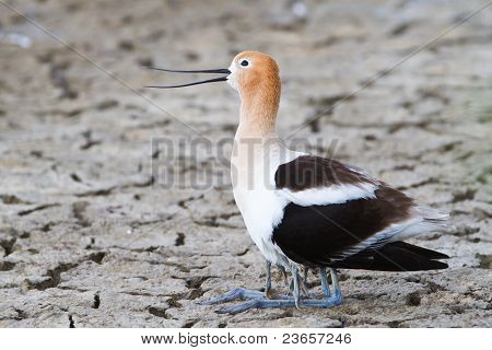 mother avocet protecting babies