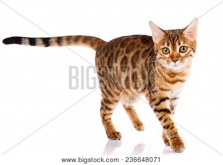 poster of Bengal Thoroughbred Cat On A White Background. Purebred Cat. Well-groomed Kitten. Pet, Comfort And C