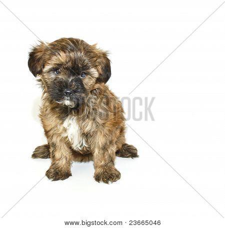 Solo poo de Yorkie Puppy