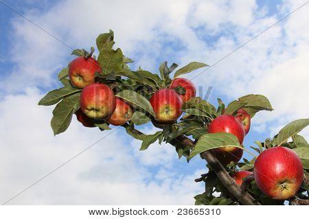 Maçãs de ramo completo de vermelho maduro