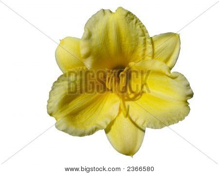 Yellow Daylily Against White