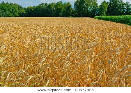 Wheat Fields In Bavaria