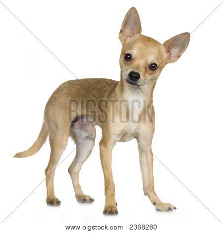 Chihuahua (9 meses)