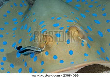 Symbiotic cleaner wrasse cleaning blue spotted stingray.